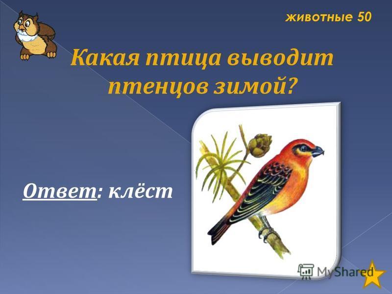 животные 50 Какая птица выводит птенцов зимой? Ответ: клёст