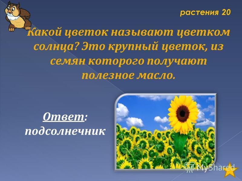 растения 20 Какой цветок называют цветком солнца? Это крупный цветок, из семян которого получают полезное масло. Ответ: подсолнечник