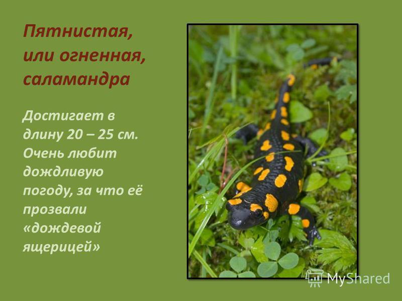 Пятнистая, или огненная, саламандра Достигает в длину 20 – 25 см. Очень любит дождливую погоду, за что её прозвали «дождевой ящерицей»