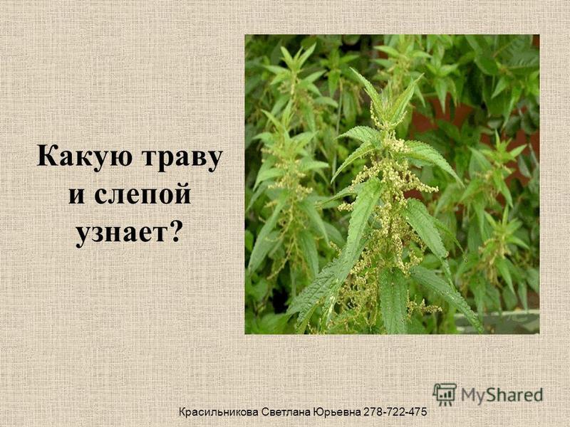 Какую траву и слепой узнает? Красильникова Светлана Юрьевна 278-722-475