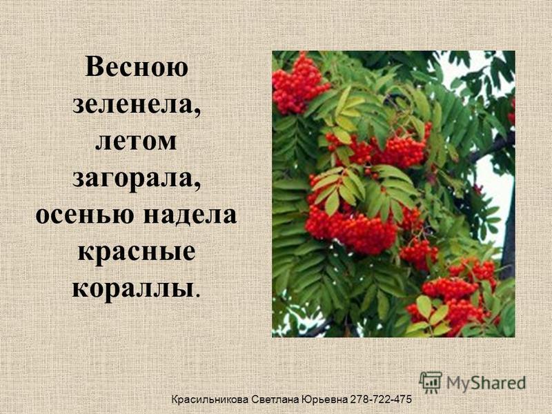 Весною зеленела, летом загорала, осенью надела красные кораллы. Красильникова Светлана Юрьевна 278-722-475