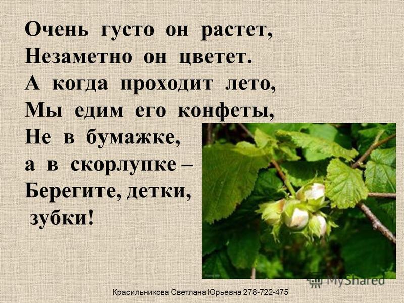 Очень густо он растет, Незаметно он цветет. А когда проходит лето, Мы едим его конфеты, Не в бумажке, а в скорлупке – Берегите, детки, зубки! Красильникова Светлана Юрьевна 278-722-475