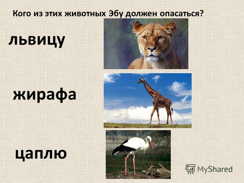 Кого из этих животных Эбу должен опасаться? львицу жирафа цаплю