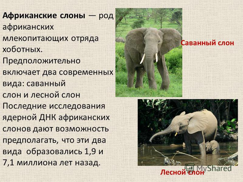 Африканские слоны род африканских млекопитающих отряда хоботных. Предположительно включает два современных вида: саванный слон и лесной слон Последние исследования ядерной ДНК африканских слонов дают возможность предполагать, что эти два вида образов
