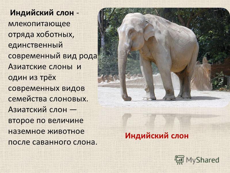 Индийский слон - млекопитающее отряда хоботных, единственный современный вид рода Азиатские слоны и один из трёх современных видов семейства слоновых. Азиатский слон второе по величине наземное животное после саванного слона. Индийский слон