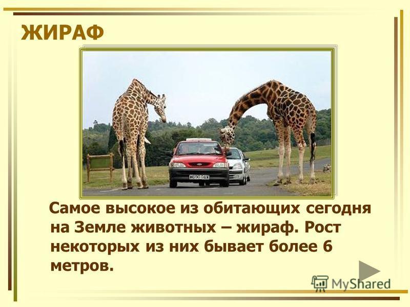 ЖИРАФ Самое высокое из обитающих сегодня на Земле животных – жираф. Рост некоторых из них бывает более 6 метров.