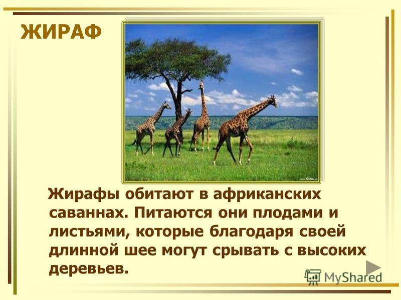 ЖИРАФ Жирафы обитают в африканских саваннах. Питаются они плодами и листьями, которые благодаря своей длинной шее могут срывать с высоких деревьев.