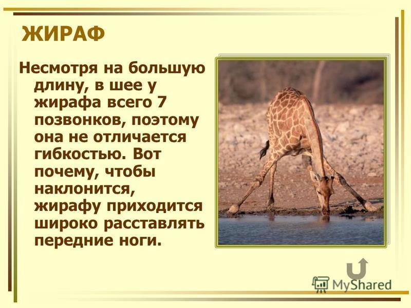 ЖИРАФ Несмотря на большую длину, в шее у жирафа всего 7 позвонков, поэтому она не отличается гибкостью. Вот почему, чтобы наклонится, жирафу приходится широко расставлять передние ноги.
