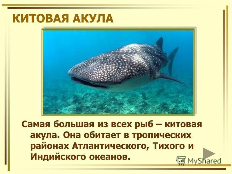КИТОВАЯ АКУЛА Самая большая из всех рыб – китовая акула. Она обитает в тропических районах Атлантического, Тихого и Индийского океанов.