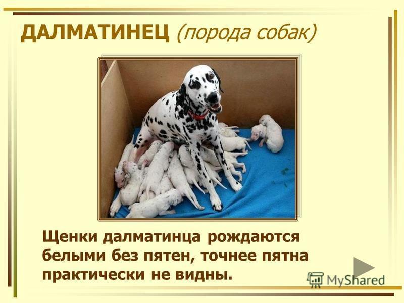 ДАЛМАТИНЕЦ (порода собак) Щенки далматинца рождаются белыми без пятен, точнее пятна практически не видны.