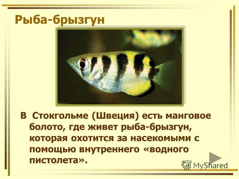 Рыба-брызгун В Стокгольме (Швеция) есть манговое болото, где живет рыба-брызгун, которая охотится за насекомыми с помощью внутреннего «водного пистолета».