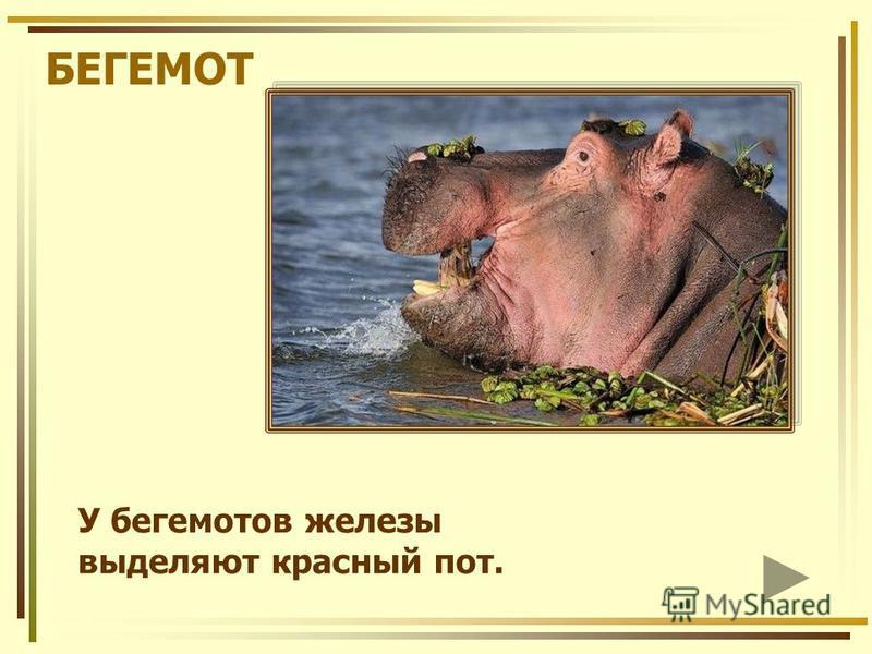 БЕГЕМОТ У бегемотов железы выделяют красный пот.
