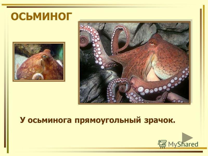 ОСЬМИНОГ У осьминога прямоугольный зрачок.