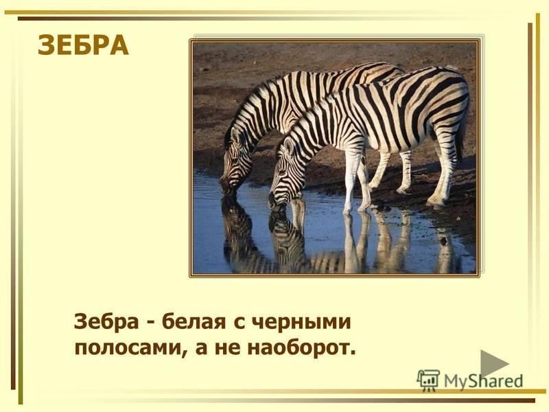 ЗЕБРА Зебра - белая с черными полосами, а не наоборот.