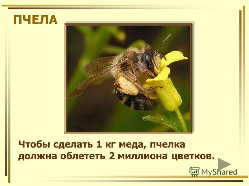 ПЧЕЛА Чтобы сделать 1 кг меда, пчелка должна облететь 2 миллиона цветков.