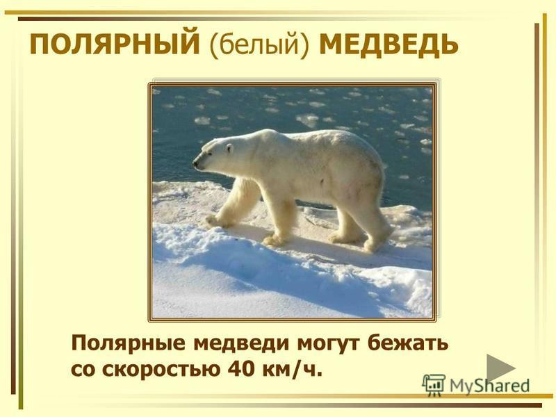 ПОЛЯРНЫЙ (белый) МЕДВЕДЬ Полярные медведи могут бежать со скоростью 40 км/ч.