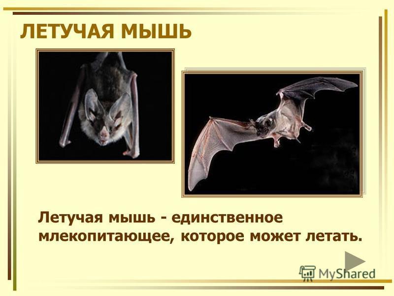 ЛЕТУЧАЯ МЫШЬ Летучая мышь - единственное млекопитающее, которое может летать.