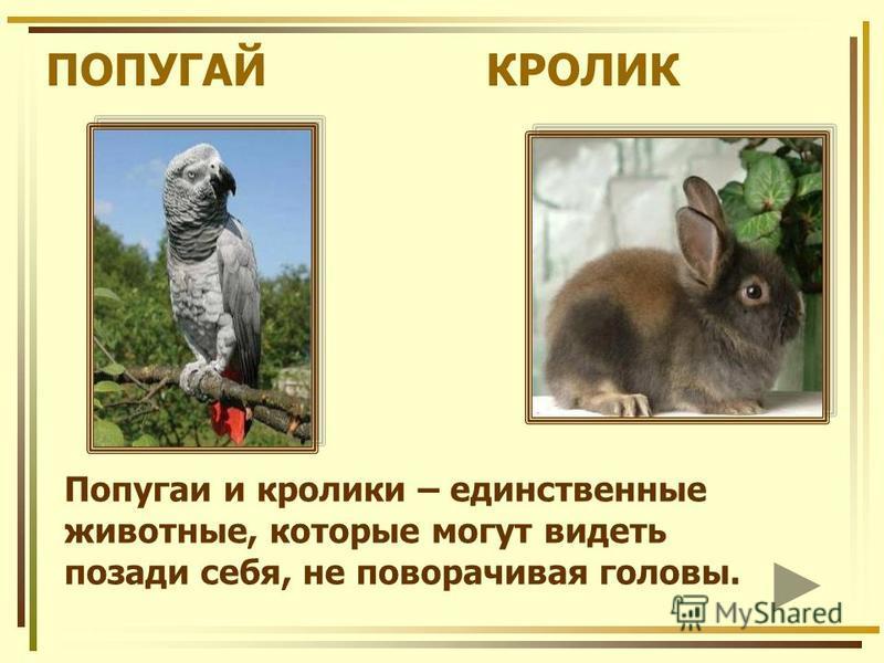 ПОПУГАЙ КРОЛИК Попугаи и кролики – единственные животные, которые могут видеть позади себя, не поворачивая головы.