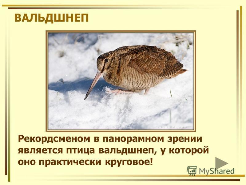 Рекордсменом в панорамном зрении является птица вальдшнеп, у которой оно практически круговое! ВАЛЬДШНЕП