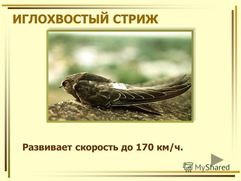 ИГЛОХВОСТЫЙ СТРИЖ Развивает скорость до 170 км/ч.