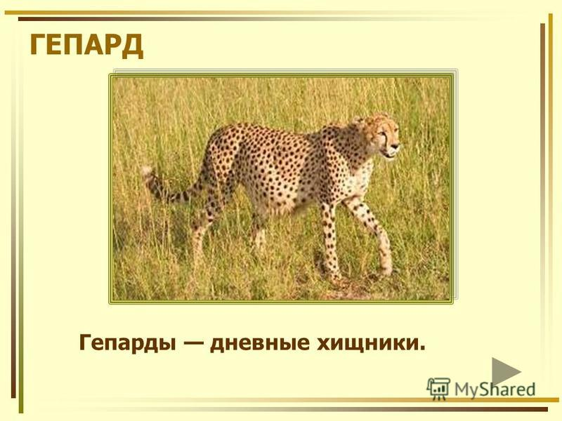 ГЕПАРД Гепарды дневные хищники.