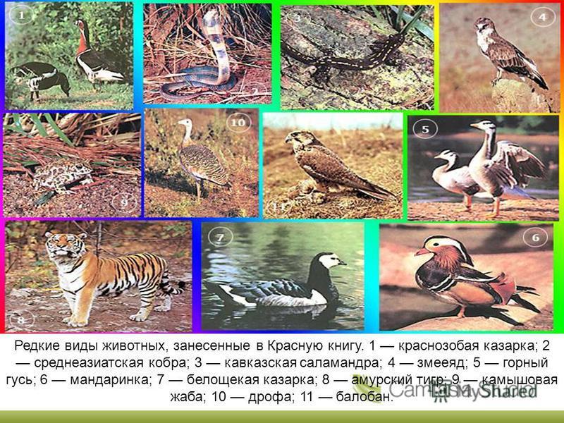 Редкие виды животных, занесенные в Красную книгу. 1 краснозобая казарка; 2 среднеазиатская кобра; 3 кавказская саламандра; 4 змееяд; 5 горный гусь; 6 мандаринка; 7 белощекая казарка; 8 амурский тигр; 9 камышовая жаба; 10 дрофа; 11 балабан.