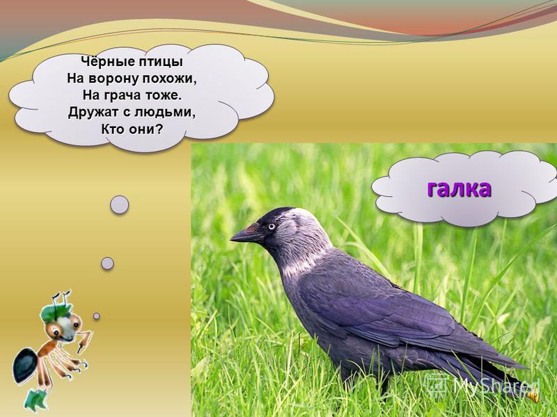 галка Чёрные птицы На ворону похожи, На грача тоже. Дружат с людьми, Кто они?