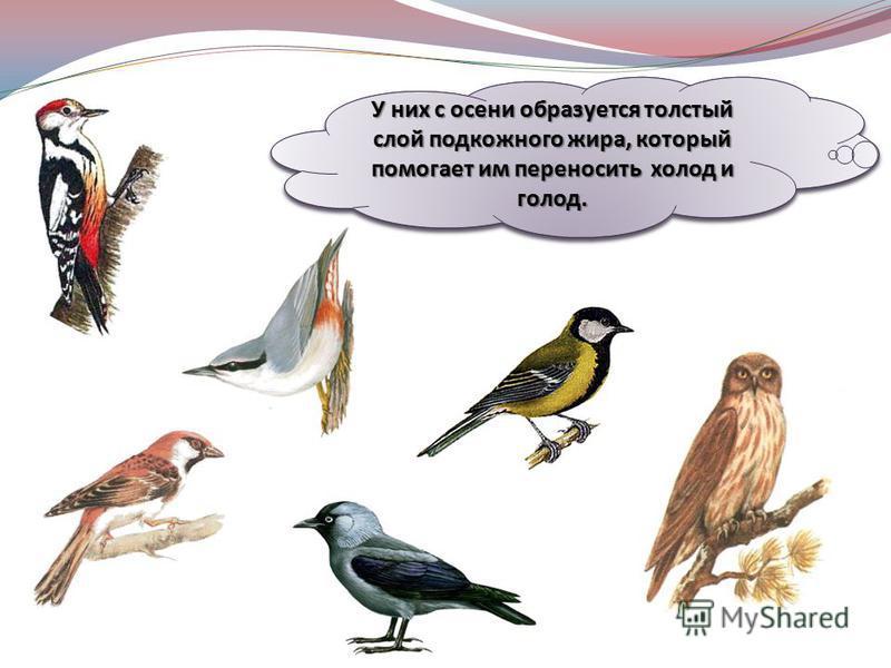 Давайте познакомимся с птицами, которые осенью никуда не улетают, зимуют в наших краях. Это зимующие птицы. У них с осени образуется толстый слой подкожного жира, который помогает им переносить холод и голод.