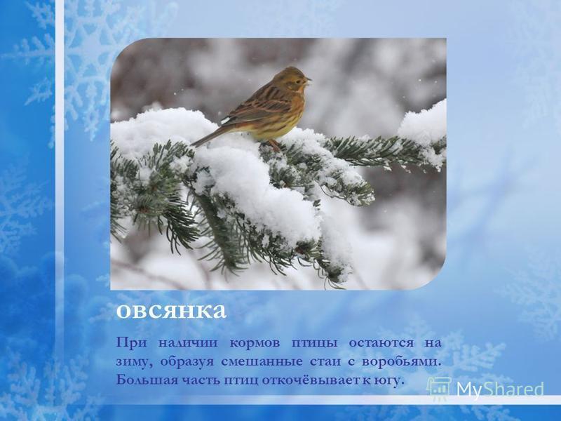 При наличии кормов птицы остаются на зиму, образуя смешанные стаи с воробьями. Большая часть птиц откочёвывает к югу. овсянка