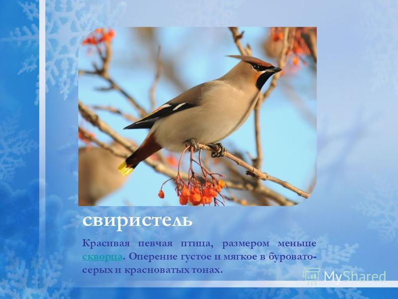 свиристель Красивая певчая птица, размером меньше скворца. Оперение густое и мягкое в буровато- серых и красноватых тонах. скворца