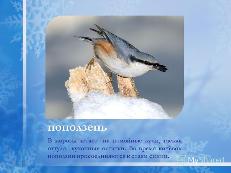 В морозы летает на помойные кучи, таская оттуда кухонные остатки. Во время кочёвок поползни присоединяются к стаям синиц. поползень