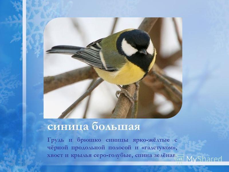 Грудь и брюшко синицы ярко-жёлтые с чёрной продольной полосой и «галстуком», хвост и крылья серо-голубые, спина зелёная. синица большая