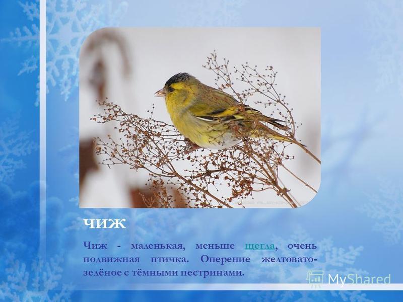 чиж Чиж - маленькая, меньше щегла, очень подвижная птичка. Оперение желтовато- зелёное с тёмными пестринами.щегла