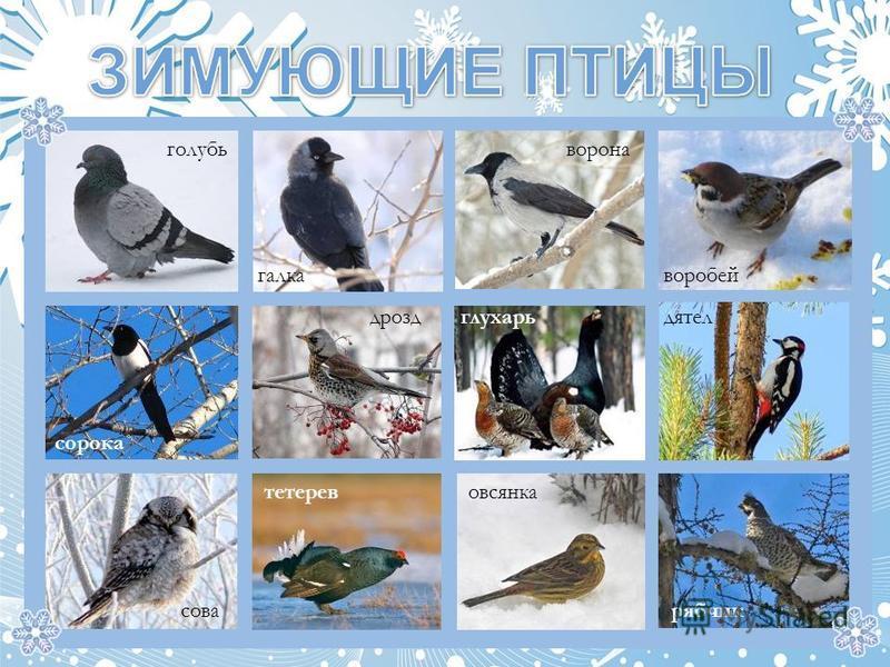 галка голубь ворона воробей сорока дроздглухарьдятел рябчик овсянка тетерев сова
