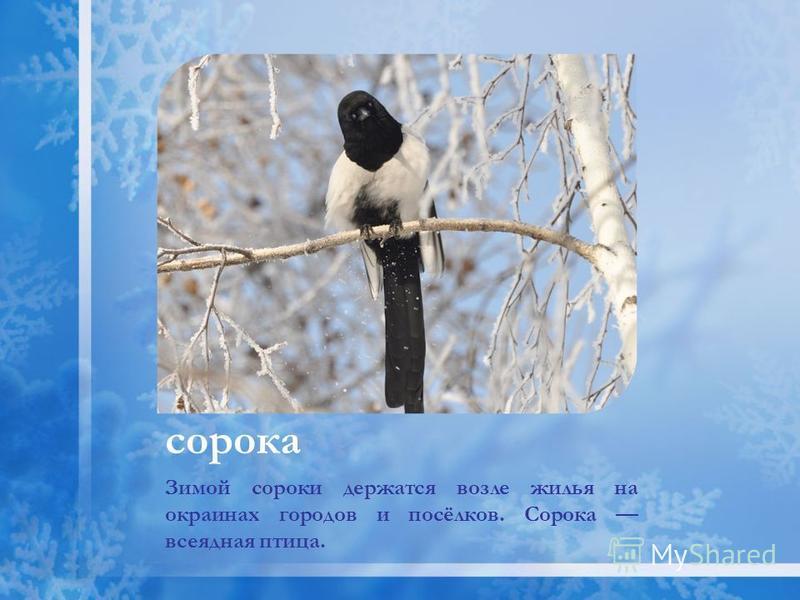 сорока Зимой сороки держатся возле жилья на окраинах городов и посёлков. Сорока всеядная птица.