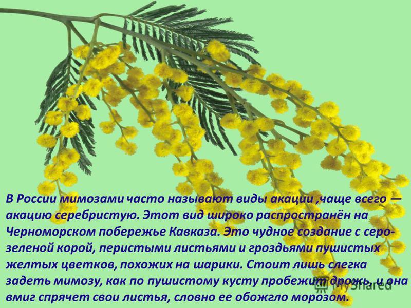 В России мимозами часто называют виды акации,чаще всего акацию серебристую. Этот вид широко распространён на Черноморском побережье Кавказа. Это чудное создание с серо- зеленой корой, перистыми листьями и гроздьями пушистых желтых цветков, похожих на
