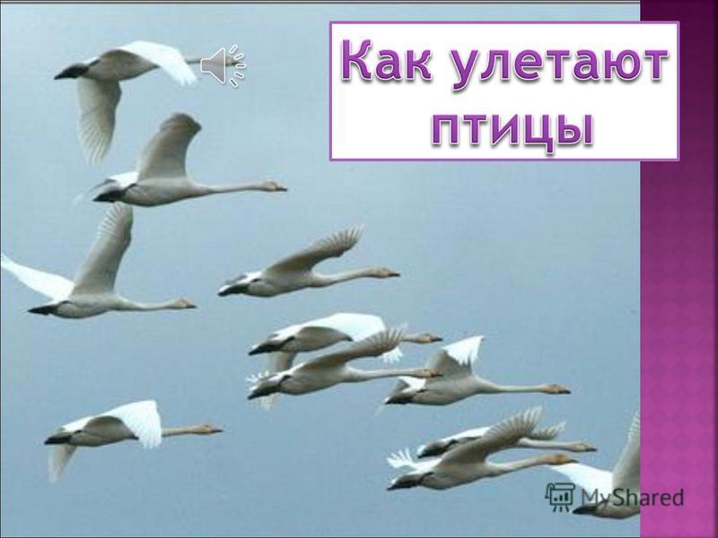 Как улетают птицы Как зимуют птицы