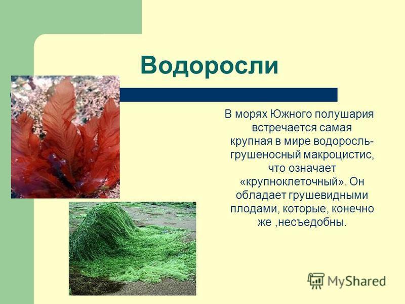 Водоросли В морях Южного полушария встречается самая крупная в мире водоросль- грушеносный макроцистис, что означает «крупноклеточный». Он обладает грушевидными плодами, которые, конечно же,несъедобны.