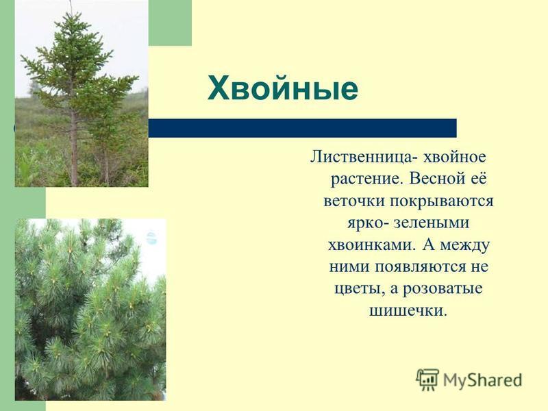 Хвойные Лиственница- хвойное растение. Весной её веточки покрываются ярко- зелеными хвоинками. А между ними появляются не цветы, а розоватые шишечки.
