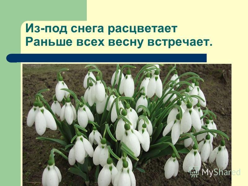 Из-под снега расцветает Раньше всех весну встречает.
