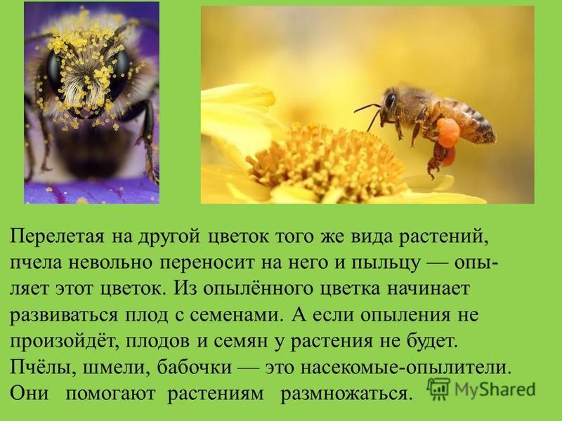Перелетая на другой цветок того же вида растений, пчела невольно переносит на него и пыльцу опы ляет этот цветок. Из опылённого цветка начинает развиваться плод с семенами. А если опыления не произойдёт, плодов и семян у растения не будет. Пчёлы, ш
