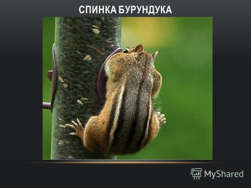 СПИНКА БУРУНДУКА