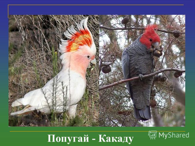 Попугай - Какаду
