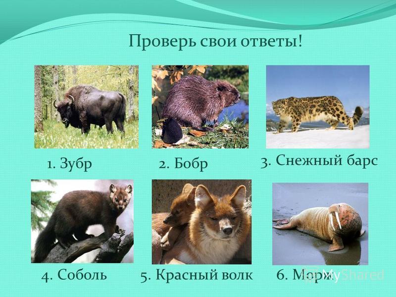 Проверь свои ответы! 1. Зубр 2. Бобр 3. Снежный барс 4. Соболь 5. Красный волк 6. Морж