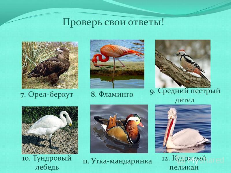 Проверь свои ответы! 7. Орел-беркут 8. Фламинго 9. Средний пестрый дятел 10. Тундровый лебедь 11. Утка-мандаринка 12. Кудрявый пеликан