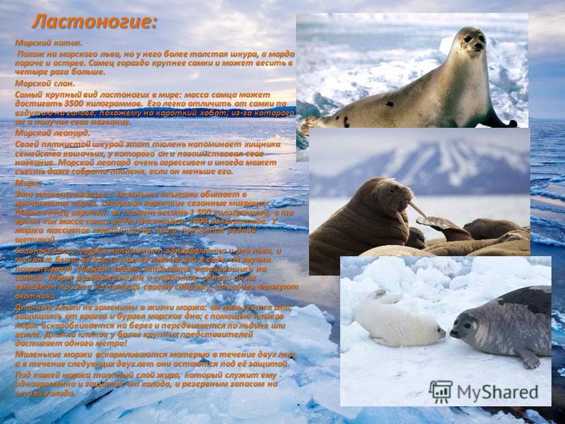 Ластоногие: Морской котик. Похож на морского льва, но у него более толстая шкура, а морда короче и острее. Самец гораздо крупнее самки и может весить в четыре раза больше. Похож на морского льва, но у него более толстая шкура, а морда короче и острее