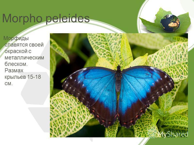 Morpho peleides Морфиды славятся своей окраской с металлическим блеском. Размах крыльев 15-18 см.