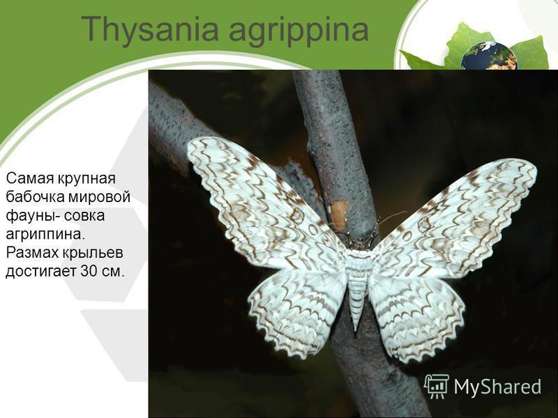 Thysania agrippina Самая крупная бабочка мировой фауны- совка агриппина. Размах крыльев достигает 30 см.
