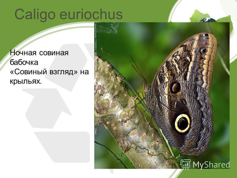 Caligo euriochus Ночная совиная бабочка «Совиный взгляд» на крыльях.