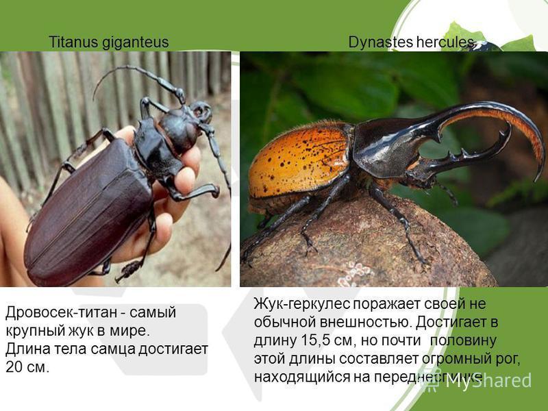 Titanus giganteusDynastes hercules Дровосек-титан - самый крупный жук в мире. Длина тела самца достигает 20 см. Жук-геркулес поражает своей не обычной внешностью. Достигает в длину 15,5 см, но почти половину этой длины составляет огромный рог, находя